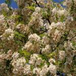 akát, květový med